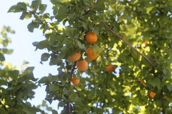 The culinary-linguist-athena lamberis-yellow plums-urban food forage